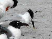 Image of: Sterna sandvicensis (Sandwich tern), Larus atricilla (laughing gull)