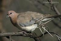 Image of: Streptopelia senegalensis (laughing dove)