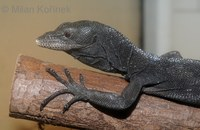Varanus beccarii - Black Tree Monitor