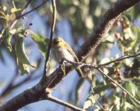 Black-ringed White-eye - Zosterops anomalus
