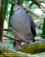 Gray-chested Dove - Leptotila cassini