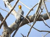 Golden-cheeked Woodpecker - Melanerpes chrysogenys
