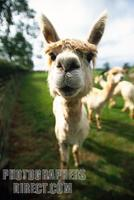 A Curious Alpaca Gets Up Close stock photo