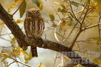 Pearl spotted Owlet in tree stock photo