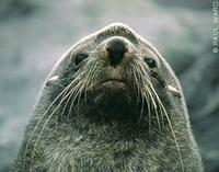 Antarctic Fur Seal - Arctocephalus gazella