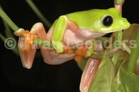 : Agalychnis moreletii; Black-eyed Tree Frog
