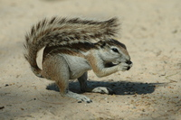: Xerus inaurus; Ground Squirrel
