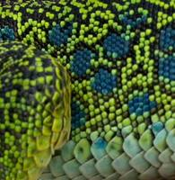 ...Detail of the scales of an Ocellated lizard - Lacerta viridis - Lagarto ocelado - Llangardaix oc