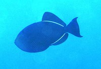 Melichthys niger, Black triggerfish: fisheries, aquarium