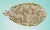 Aseraggodes macleayanus, Narrowbanded sole: fisheries