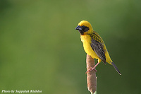 Asian Golden Weaver - Ploceus hypoxanthus