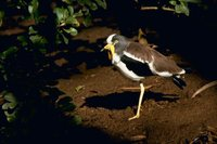 White-headed Lapwing - Vanellus albiceps