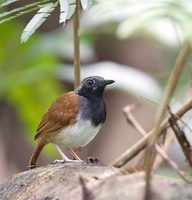 White-bellied Antbird (Myrmeciza longipes) photo