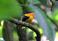 Orange-collared Manakin - Manacus aurantiacus