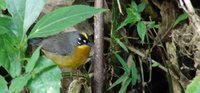 Fan-tailed Warbler - Euthlypis lachrymosa