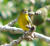 Pale-lored Euphonia