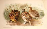 LITTLE BUTTON QUAIL ( TURNIX DUSSUMIERI)