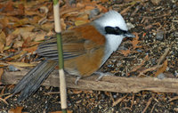 : Garrulax leucolophus; White-crested Laughing Thrush