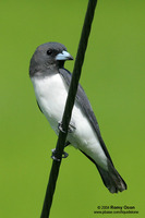 White-breasted Wood-swallow Scientific name - Artamus leucorynchus