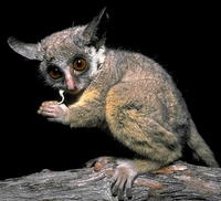 photo of lesser bushbaby : Galago moholi