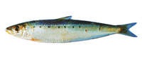Sardinops sagax, South American pilchard: fisheries, bait