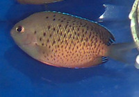 Centropyge ferrugata, Rusty angelfish: aquarium