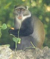 Image of: Cercopithecus mitis (blue monkey)