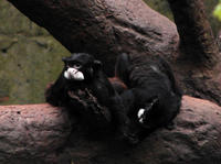 Image of: Saguinus mystax (black-chested mustached tamarin)