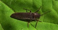 Image of: Elateridae (click beetles)
