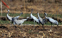 Image of: Grus grus (common crane)