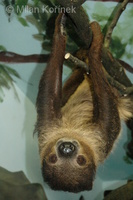 Choloepus didactylus - Southern Two-toed Sloth