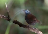 Chestnut-backed Antbird (Myrmeciza exsul) photo
