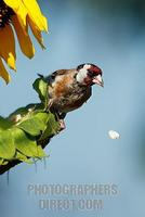 European Goldfinch ( Carduelis carduelis ) stock photo