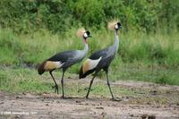 Pair of African crowned cranes (Balearica regulorum)