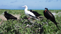 ...: Sula sula rubripes ; fregata minor palmerstoni; Red Footed Booby And Great Frigatebir