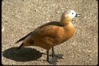 : Tadorna ferruginea; Ruddy Shelduck