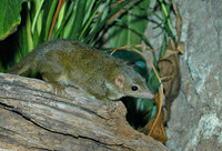 : Tupaia minor; Lesser Tree Shrew