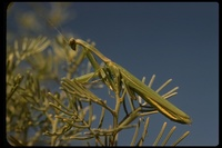 : Mantis religiosa; Praying Mantis