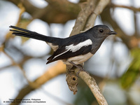 Oriental Magpie-Robin (Female) Scientific name - Copsychus saularis