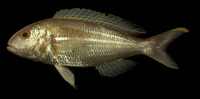 Nemipterus hexodon, Ornate threadfin bream: fisheries