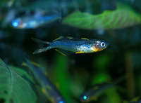 Pseudomugil furcatus, Forktail rainbowfish: aquarium