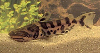 Ageneiosus marmoratus, Bottlenose catfish: aquarium