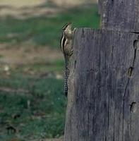 Image of: Funambulus (palm squirrels)