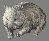 Image of: Vombatus ursinus (coarse-haired wombat)