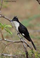 Image of: Clamator jacobinus (Jacobin cuckoo)
