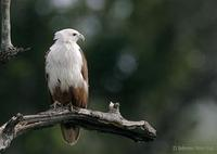 Image of: Haliastur indus (Brahminy kite)