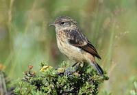 Image of: Saxicola torquatus (common stonechat)