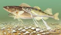 Image of: Stizostedion vitreum (walleye)