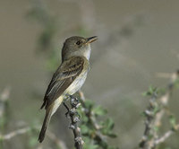 Willow Flycatcher (Empidonax traillii) photo