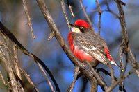 Crimson Chat - Epthianura tricolor